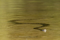 Asian Python swimming in river, Nepal Stock Image