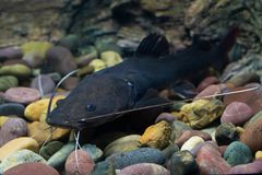 Asian redtail catfish fish Royalty Free Stock Image