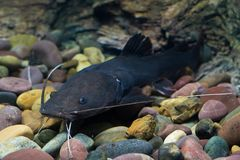 Asian redtail catfish fish Royalty Free Stock Images