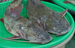 Asian redtail catfish Stock Photos