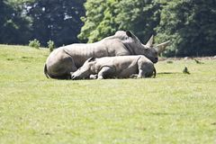 Asian rhino Stock Images