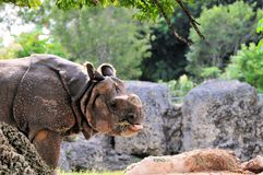 Asian Rhino Eating Royalty Free Stock Photography