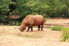 Asian rhino grazing in the nature Stock Images