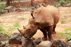 Asian rhino grazing in the nature Royalty Free Stock Photo