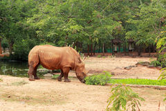 Asian rhino grazing in the nature Royalty Free Stock Photography