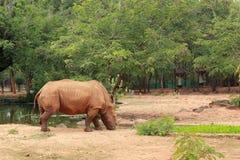 Asian rhino grazing in the nature Stock Photo