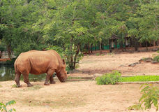 Asian rhino grazing in the nature Stock Photo