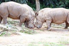 Asian rhino rhinoceros Stock Photography