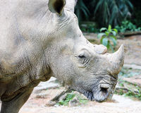 Asian rhino rhinoceros Stock Photos