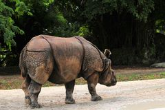 Asian rhino walking Royalty Free Stock Photography