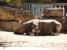 Asian rhinoceros Royalty Free Stock Photos