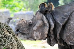 Asian rhinoceros Stock Photo