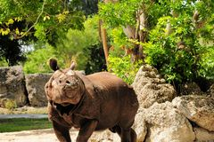 Asian rhinoceros Royalty Free Stock Images