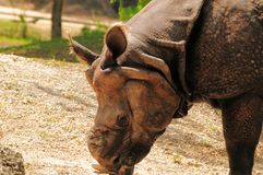 Asian rhinoceros eating Stock Images
