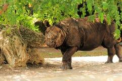 Asian rhinoceros walking in shade Stock Photography