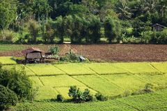 Asian rice field Royalty Free Stock Photography