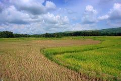 Asian Rice Field stock image