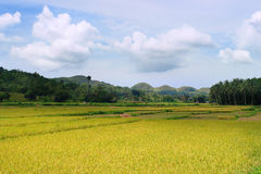 Asian Rice Field Royalty Free Stock Photo