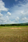 Asian Rice Field Stock Images