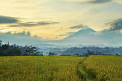 Asian rice field Stock Photos
