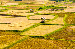 Asian rice field after harvest in Nan province, Thailand Royalty Free Stock Photo