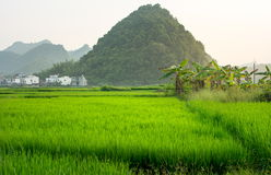 Asian rice field with karst rocks in Guangxi China Royalty Free Stock Photo