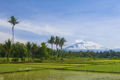 Asian rice field landscape in Indonesia Royalty Free Stock Images