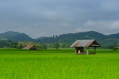 Asian rice fields and farmer hut in rainy season, cultivation in the Thailand country. Farm land royalty free stock photography