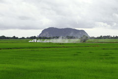 Asian rice paddy. Growing rice in an Asian rice paddy Stock Photos