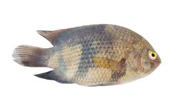 Asian river fish isolated Stock Images