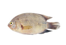 Asian river fish isolated Royalty Free Stock Image