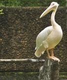 Asian rossy pelicans Royalty Free Stock Image