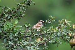 Asian russet sparrow stock photos