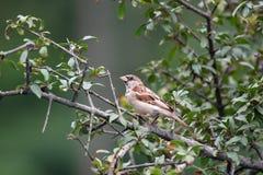 Asian russet sparrow royalty free stock photos