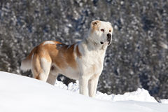 Asian sheeper dog in the snow Stock Images