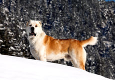 asian sheeper dog in the snow Royalty Free Stock Photos