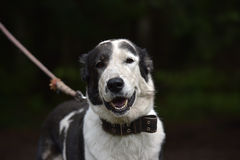 Asian Shepherd Dog about booth Royalty Free Stock Image