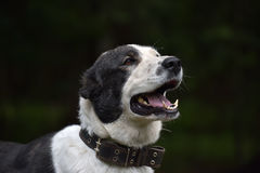 Asian Shepherd Dog about booth Royalty Free Stock Photography