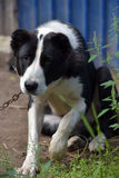 Asian Shepherd Dog about booth Stock Photography