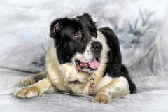 Asian Shepherd Dog Royalty Free Stock Photos