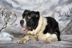 Asian Shepherd Dog Royalty Free Stock Photo