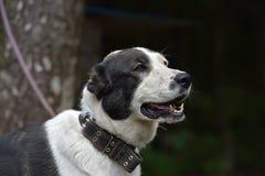 Asian Shepherd Dog Royalty Free Stock Image