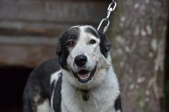 Asian Shepherd Dog Stock Image