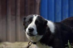 Asian Shepherd Dog Stock Photo
