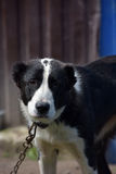 Asian Shepherd Dog Royalty Free Stock Photo