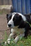 Asian Shepherd Dog Stock Photography