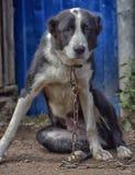 Asian Shepherd Dog Royalty Free Stock Photography