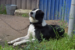 Asian Shepherd Dog Stock Images