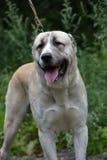 Asian Shepherd Dog Royalty Free Stock Images