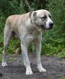 Asian Shepherd Dog Royalty Free Stock Photos